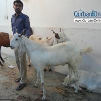Online Qurbani arrangements for overseas Pakistanis
